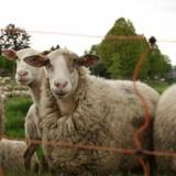 schapen bij de roggelse beek leudal