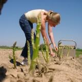 asperges steken foto vvv midden-limburg