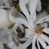 bloesem ster-magnolia angela schijf voor menina bij buitengoed de gaard