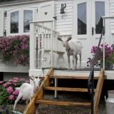 pipowagendeluxe  met geiten