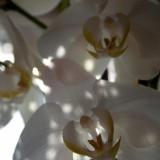 altijd witte orchideeen bij da vinci restaurant foto belinda keulen