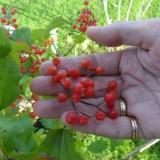 gé reinders kiest een viburnum struik om te planten bij buitengoed de gaard