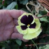 geal viooltjes jan philipsen rowwen heze buitengoed de gaard foto belinda keulen