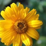 hadewych minis zonnebloemen