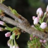 huub stapelboom bijna in bloei buitengoed de gaard