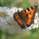 isa hoes vlinderstruik vlinder kamerling