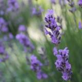 maaike widdershoven plantte lavendel bij buitengoed de gaard