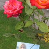 mooi roos van lone van roosendaal bij buitengoed de gaard