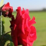 rode roos geplant door roos van erkel, jim bakkum, stefan de kogel, stephan mooijman, hilke bierman, marlijn van dijk,