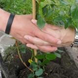 samen planten elise schaap en wouter de jong hun roos voor rett syndroom bij buitengoed de gaard limburg