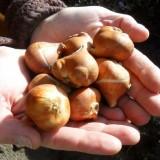 tulpenbollen 'snow chrystal' geplant door sander janson bij pipowagendeluxe