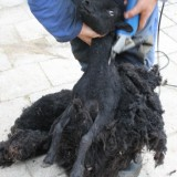 zwart schaap doet wollen jas uit  buitengoed de gaard