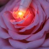 januari rozen voor honeymoon-bruidspaar-trouwen pipowagen buitengoed de gaard