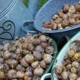 jaarlijks nieuwe gladiolen plant door jos sloot en dycke van de wal bij buitengoed de gaard