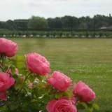roos voor rietje en toon hermans geplant door maurice hermans in 't graas van de wei bij buitengoed de gaard